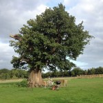 Our old oak tree